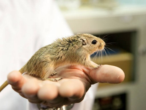 Mongolian Gerbil - Photo: IMBP